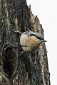 Chestnut-vented Nuthatch.jpg