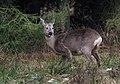 Chevreuil (Capreolus capreolus), Fagne de la Petite Roer, Sourbrodt (33099579838).jpg