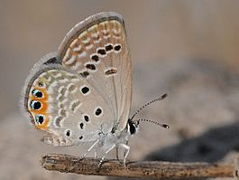 Chilades trochylus - Grass Jewel butterfly 02.jpg