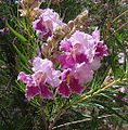 Chilopsis linearis-- the Desert Willow (26872317261).jpg