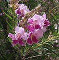 Chilopsis linearis-- the Desert Willow (26872317261).jpg