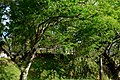 Chiminango (Pithecellobium dulce) (14723084183).jpg