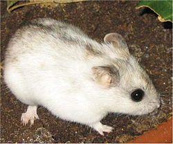 Suku puoli hamsteri