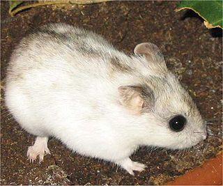 <i>Cricetulus</i> genus of mammals