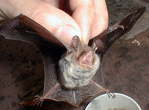 Natterer's bat (Myotis nattereri) in Bensheim ...
