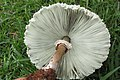 Chlorophyllum molybdites (G. Mey.) Massee 601042.jpg