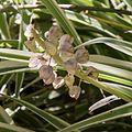 Chlorophytum comosum-Chlorophytum commun-Graines-20160423.jpg