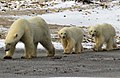 Chocolate the polar bear and her cubs (6355897885).jpg
