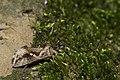 Chrysodeixis eriosoma (31205924687).jpg