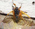 Cicada climbing.jpg