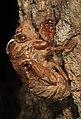 Cicada exuvia, Mason Neck, Virginia (26475570139).jpg