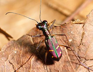 <i>Jansenia</i> genus of insects