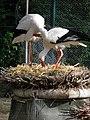 Cigognes blanches (Ciconia ciconia) (10).jpg