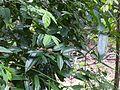 Cinnamomum ¿ malabatrum ? (8150086875).jpg