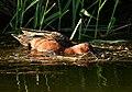 Cinnamon teal on Seedskadee National Wildlife Refuge (34993037441).jpg