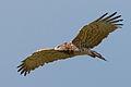 Circaetus gallicus Punta Carnero 4.jpg