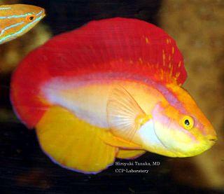 <i>Cirrhilabrus jordani</i> species of fish