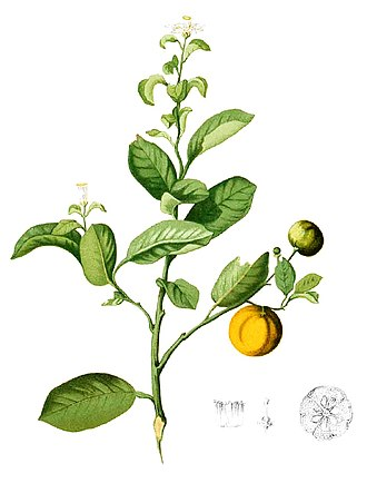 Calamondin - Professional illustration by the abbreviation author Blanco.