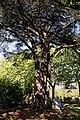 City of London Cemetery and Crematorium ~ cedar tree.jpg
