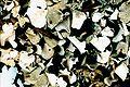 Cladonia turgida-1.jpg