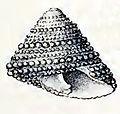 Clanculus purpuratus 002.jpg