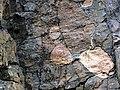 Clast-rich impact pseudotachylite (Sudbury Breccia, Paleoproterozoic, 1.85 Ga; Crab Lake South roadcut, south-southeast of Cartier, Ontario, Canada) 2 (47735054411).jpg