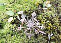 Claytonia perfoliata - I think - Flickr - brewbooks.jpg