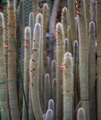 Cleistocactus hyalacanthus.png