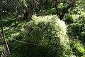 Clematis microphylla var. microphylla in natural habitiat.jpg