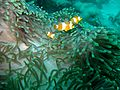 Clown Anemonefish 2 (5538867857).jpg