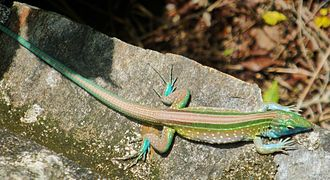Rainbow whiptail - Rainbow whiptail (Cnemidophorus lemniscatus), Tayrona National Natural Park, Magdalena Department, Colombia