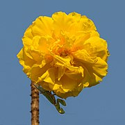 Cochlospermum regium (yellow cotton tree) flower.jpg