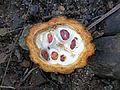 Cocoa theobroma-Sri Lanka (2).jpg