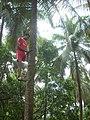 Coconut tree climbing DSCN0226.jpg