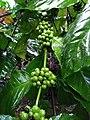 Coffee Plants.jpg