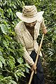 Coffee farmer in Brazil.jpg