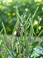 Coleoptera 1280207.JPG