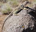 Collared Lizard Albuquerque NM1 1.JPG