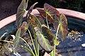 Colocasia esculenta Antiquorum 0zz.jpg