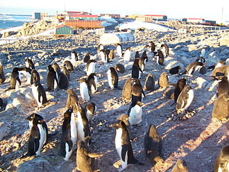 Dumont d'Urville Station - A colony of Adélie penguins.