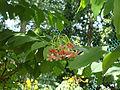 Combretum indicum (3).JPG