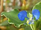 Commelina dayflower.jpg
