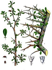 Botanical illustration showing thorny branches of plant with small, oval-shaped leaves