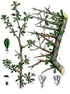 <i>Commiphora myrrha</i>