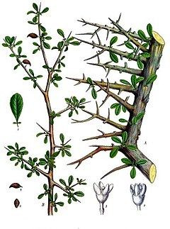 Mirra (Commiphora myrrha) [1]