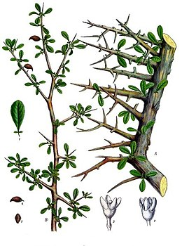 Commiphora myrrha