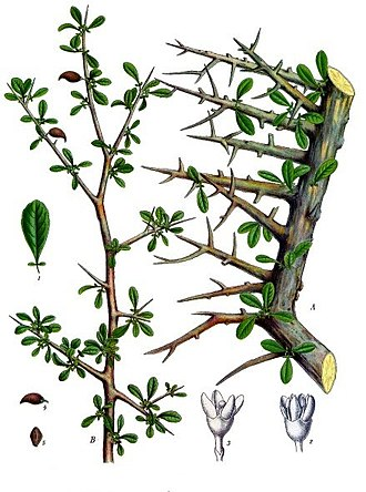 Myrrh - Commiphora myrrha tree, one of the primary trees from which myrrh is harvested