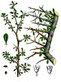 Commiphora myrrha - Köhler–s Medizinal-Pflanzen-019.jpg