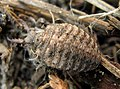 Common Antlion Myrmeleon immaculatus mature nymph.jpg