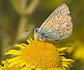 Common Blue Butterfly - geograph.org.uk - 1453422.jpg